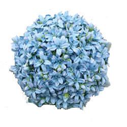 bluestarflower
